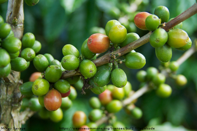 does green coffee bean extract work