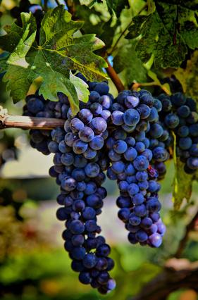Merlot Grapes HDR