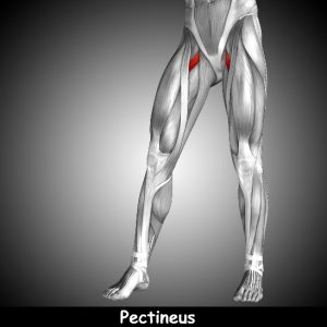 groin pain relief pectineus